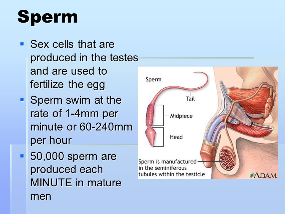 Days production sperm health produced
