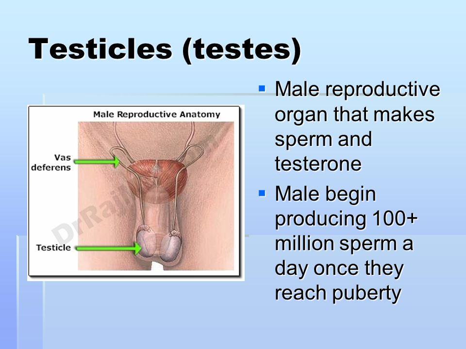Testicles (testes) Male reproductive organ that makes sperm and testerone.
