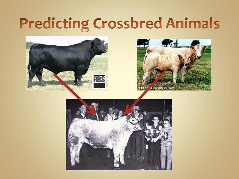 Predicting Crossbred Animals