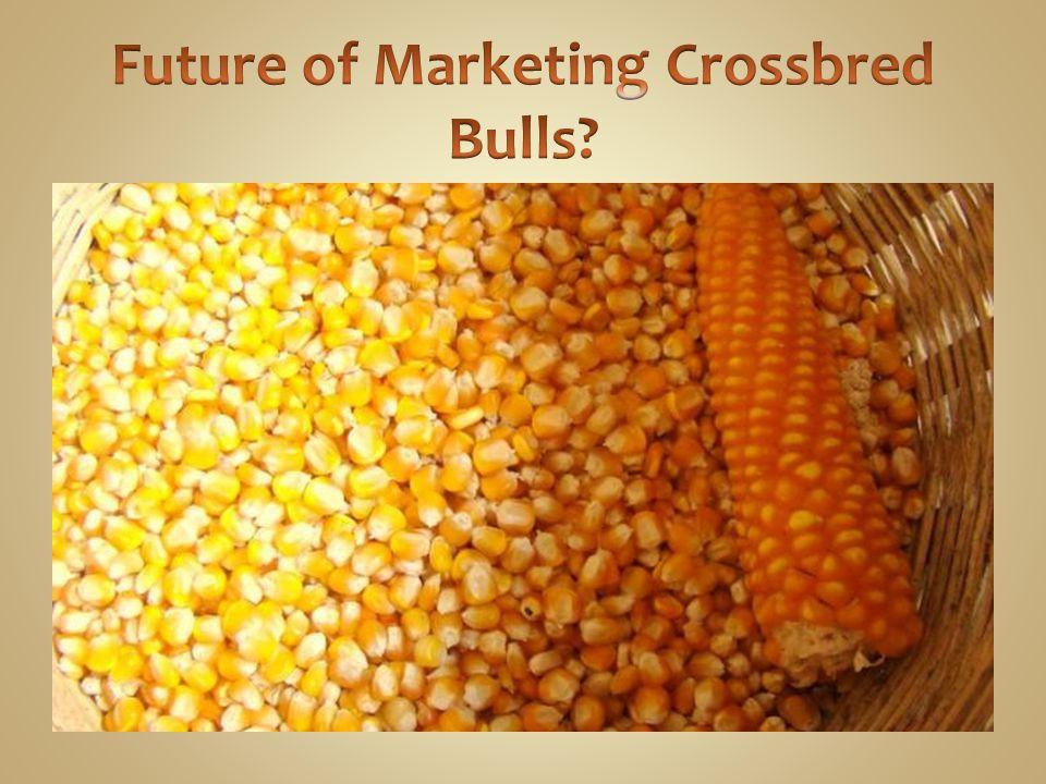 Future of Marketing Crossbred Bulls
