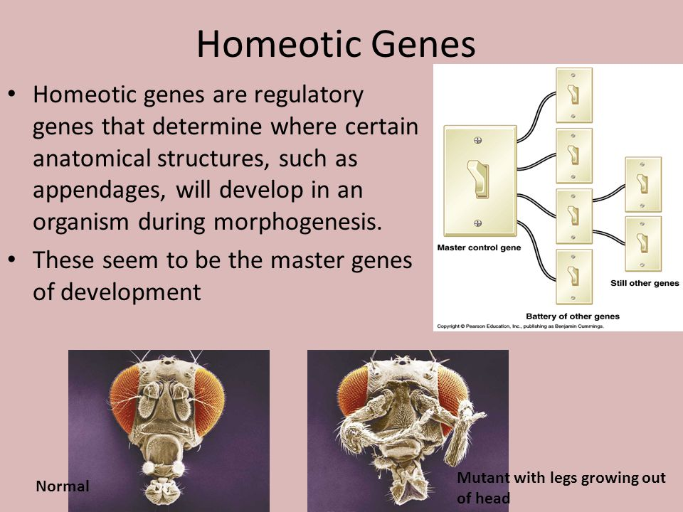 Homeotic Genes