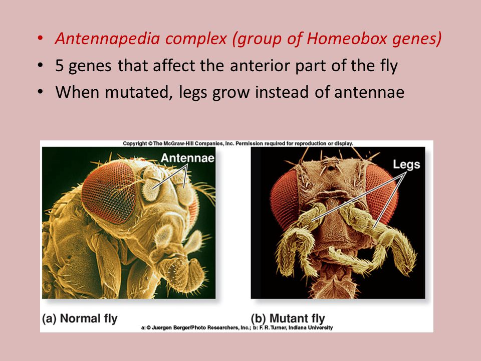 Antennapedia complex (group of Homeobox genes)