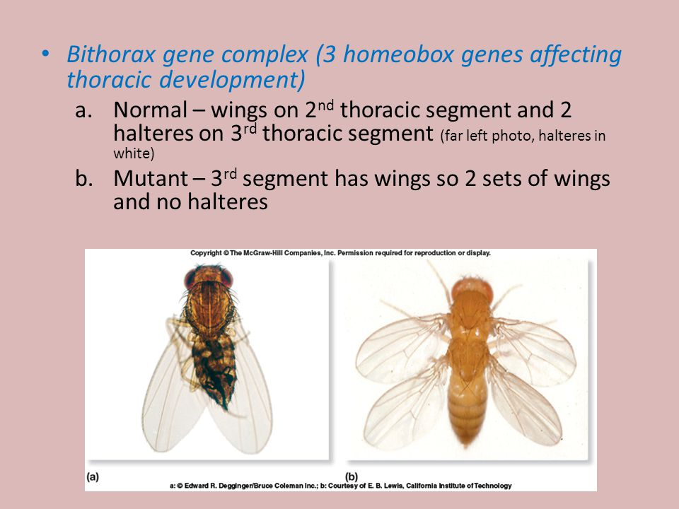 Bithorax gene complex (3 homeobox genes affecting thoracic development)
