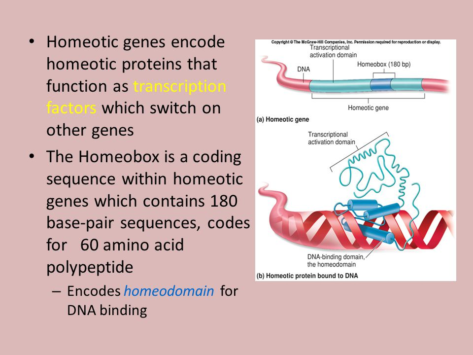 Homeotic genes encode homeotic proteins that function as transcription factors which switch on other genes