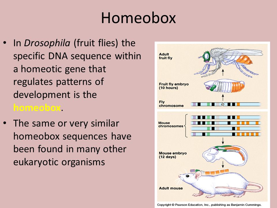 Homeobox In Drosophila (fruit flies) the specific DNA sequence within a homeotic gene that regulates patterns of development is the homeobox.