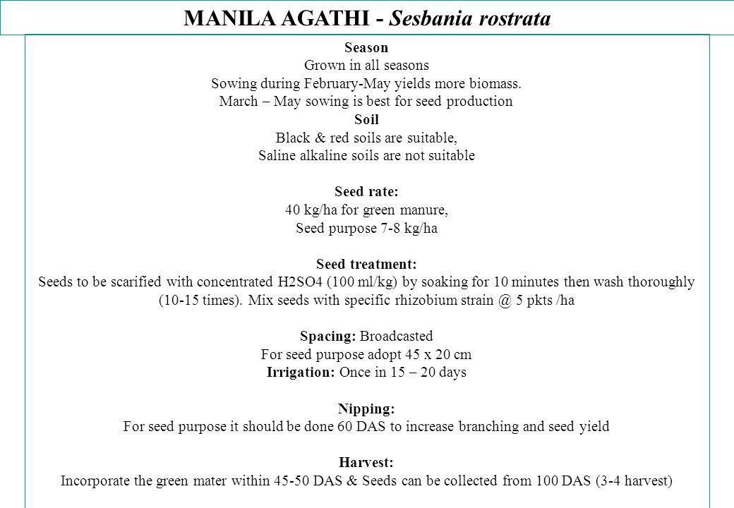 MANILA AGATHI - Sesbania rostrata