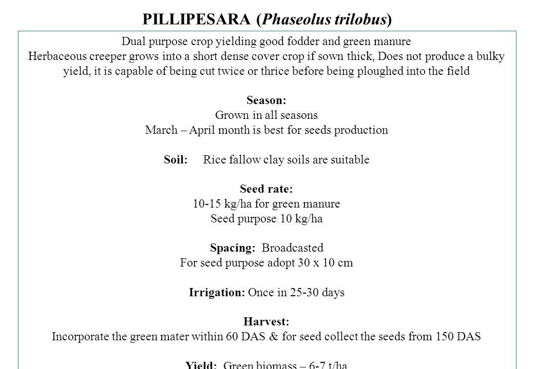 PILLIPESARA (Phaseolus trilobus)