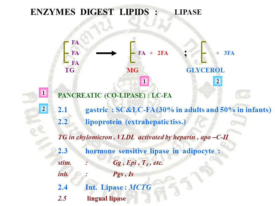 ; ENZYMES DIGEST LIPIDS : LIPASE