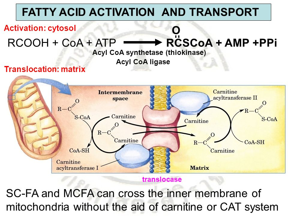FATTY ACID ACTIVATION AND TRANSPORT