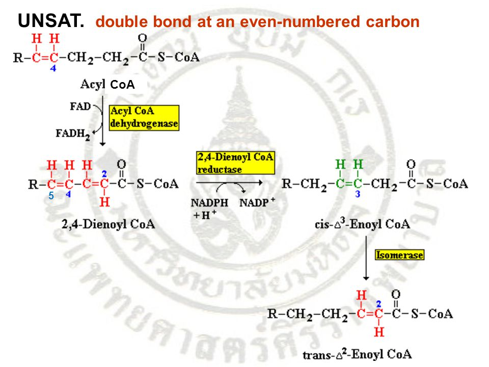 UNSAT. double bond at an even-numbered carbon