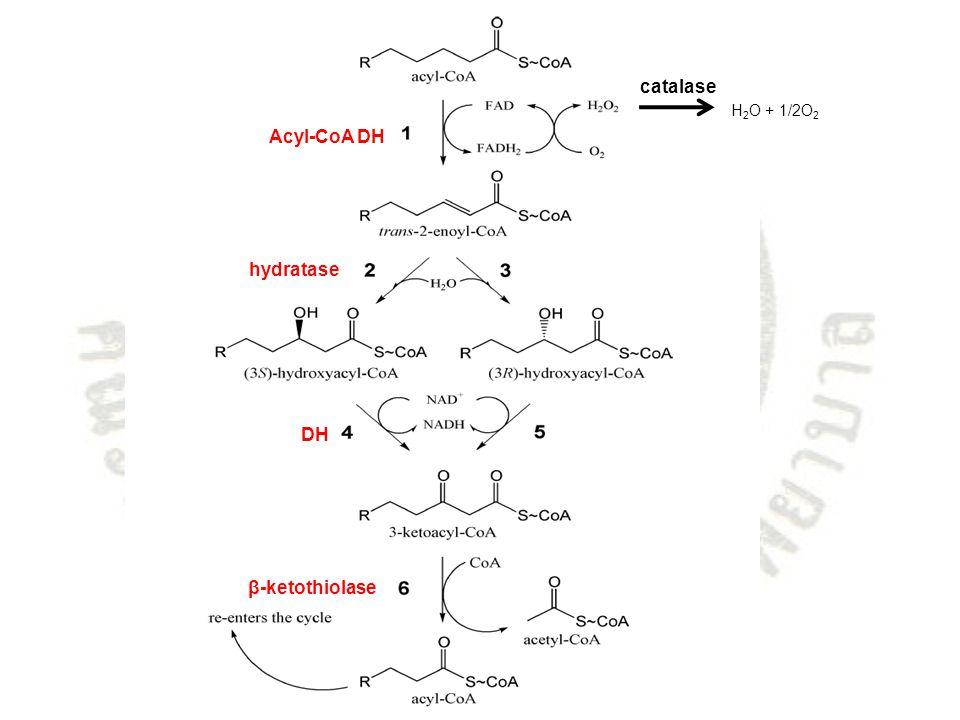 catalase H2O + 1/2O2 Acyl-CoA DH hydratase DH β-ketothiolase