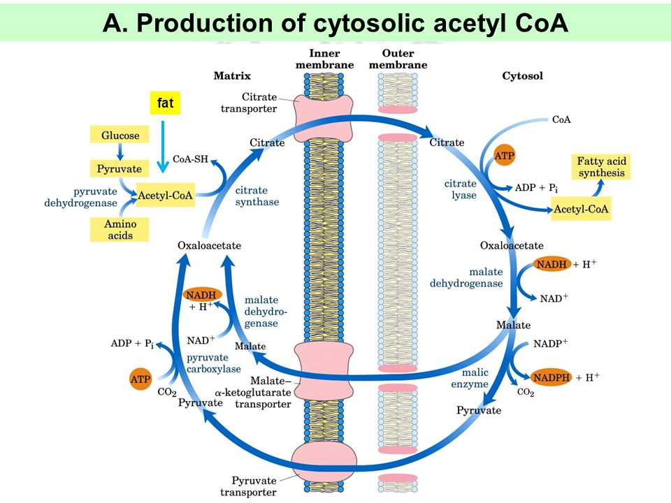 A. Production of cytosolic acetyl CoA