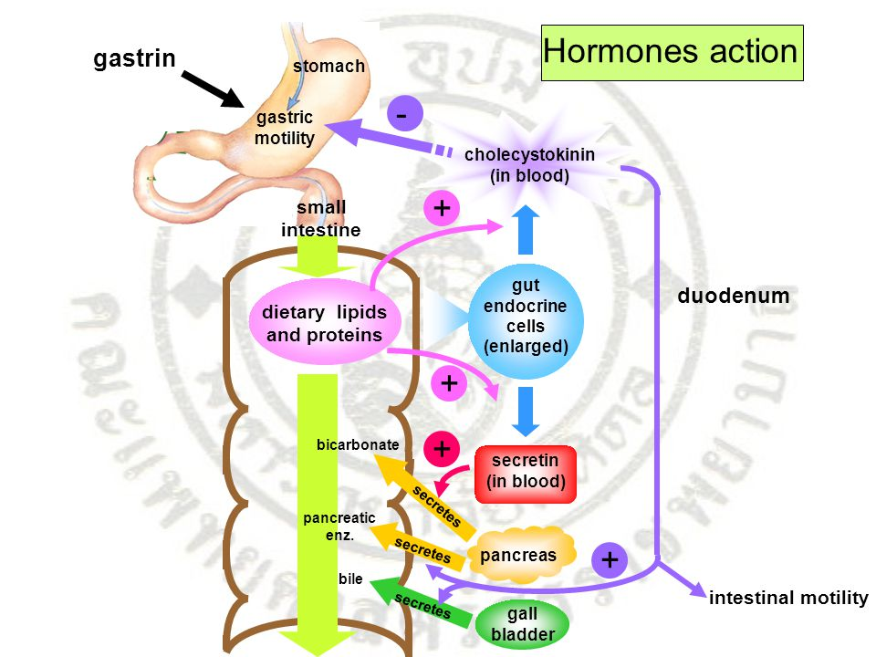 Hormones action - + + + + gastrin duodenum small intestine