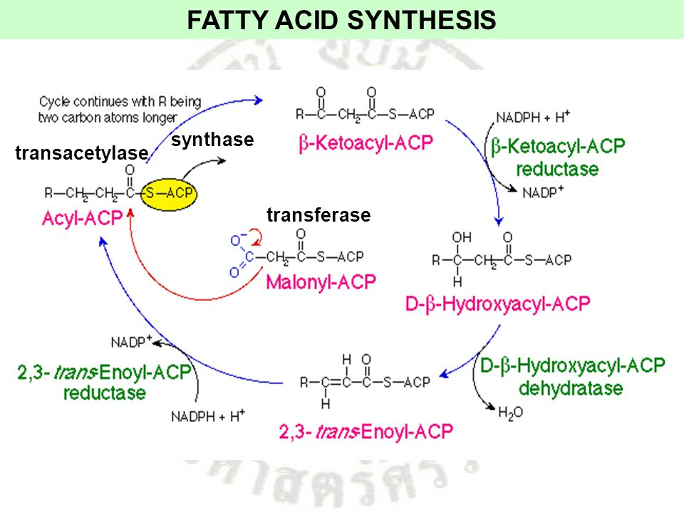 FATTY ACID SYNTHESIS synthase transacetylase transferase