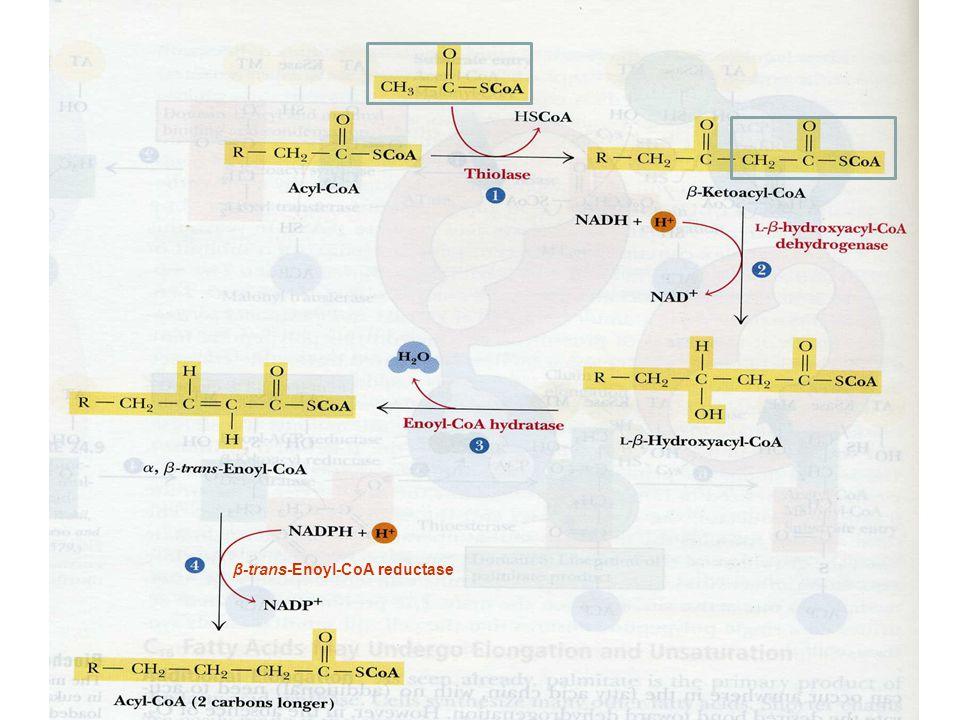β-trans-Enoyl-CoA reductase
