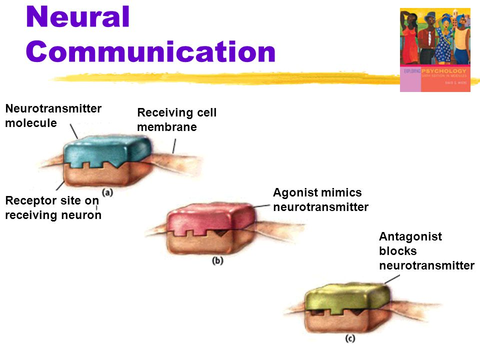 Neural Communication Neurotransmitter Receiving cell molecule membrane