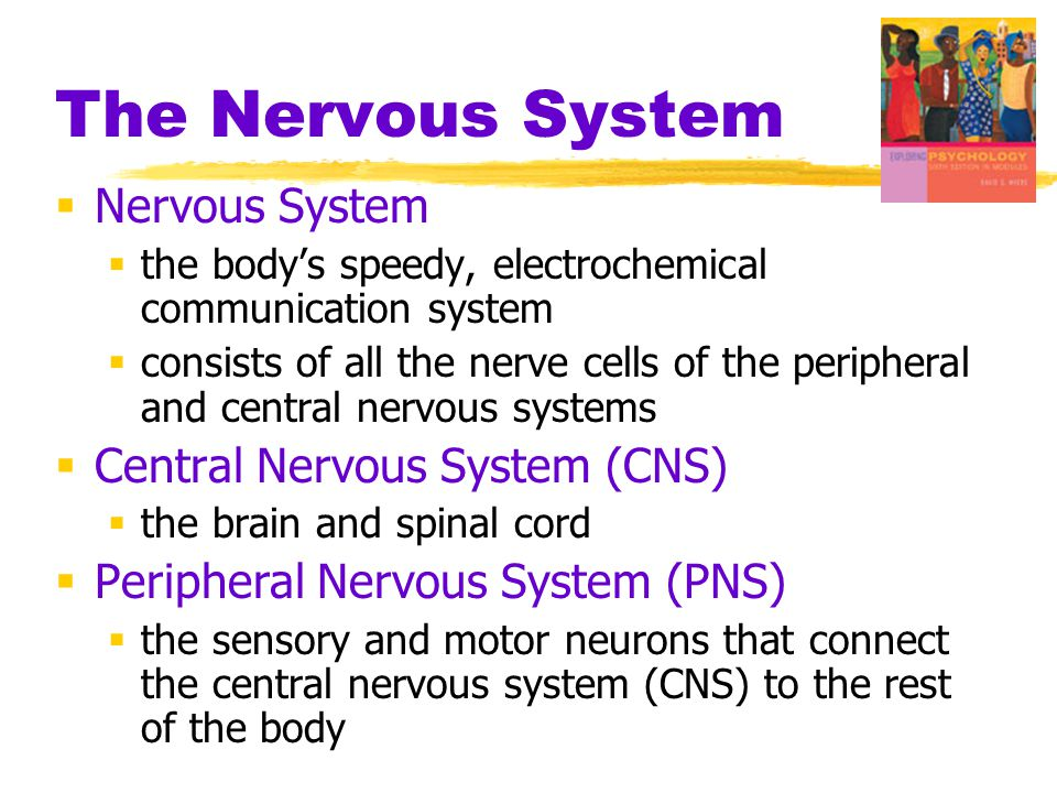 The Nervous System Nervous System Central Nervous System (CNS)