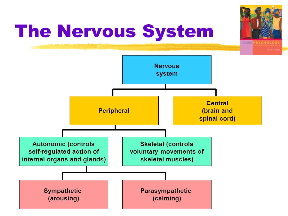 The Nervous System Central (brain and spinal cord) Nervous system