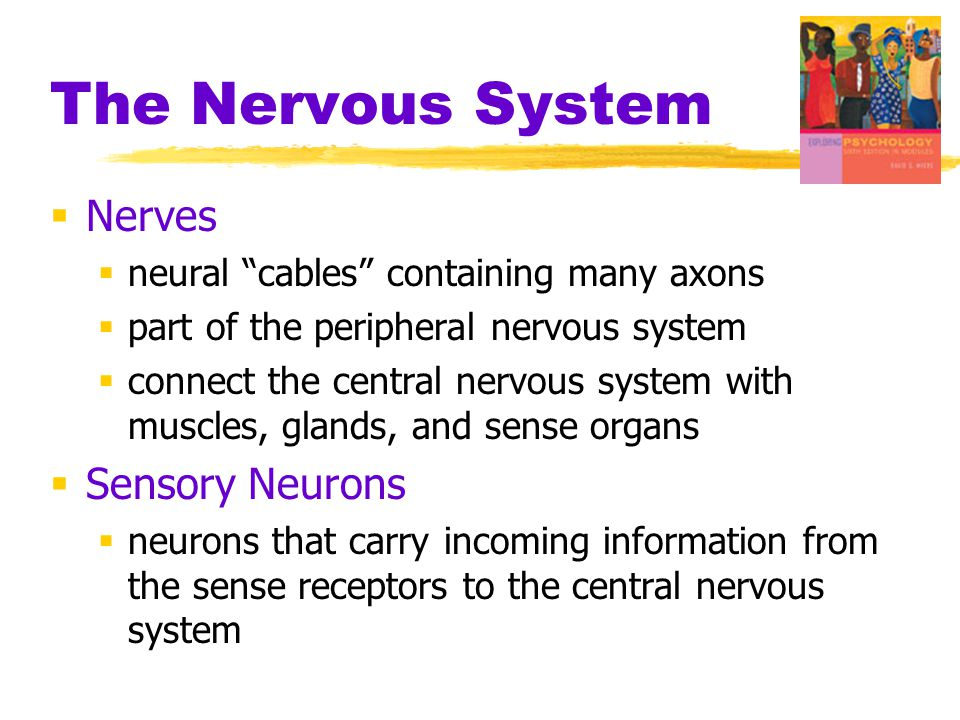 The Nervous System Nerves Sensory Neurons