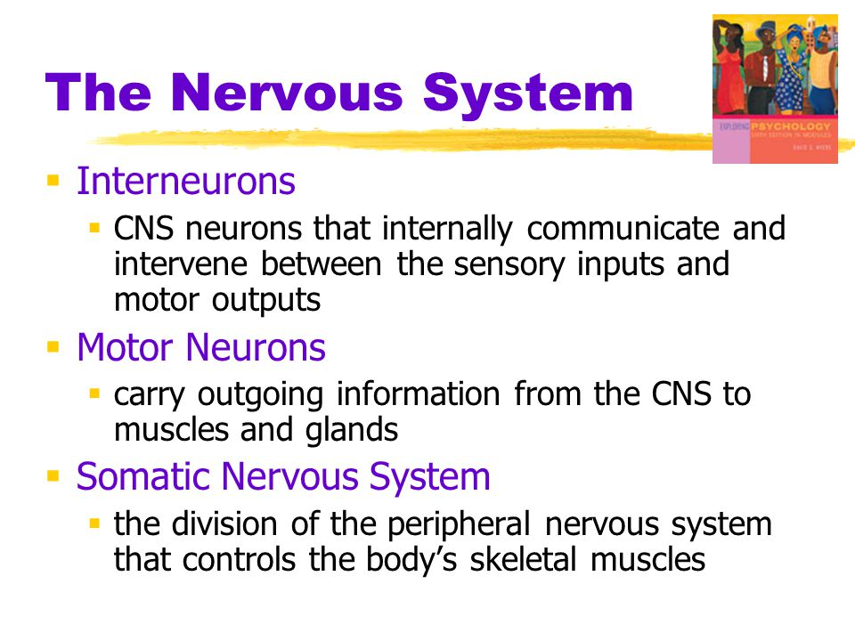 The Nervous System Interneurons Motor Neurons Somatic Nervous System