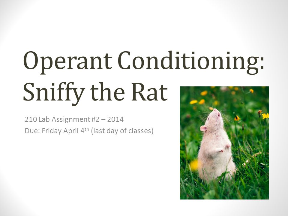 Operant Conditioning: Sniffy the Rat
