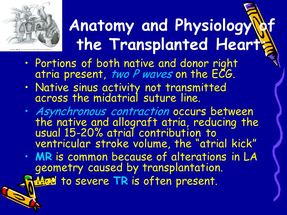 Anatomy and Physiology of the Transplanted Heart: