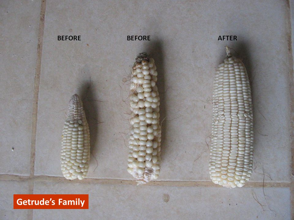 Getrude's family BEFORE BEFORE AFTER Getrude's Family CONFIDENTIAL