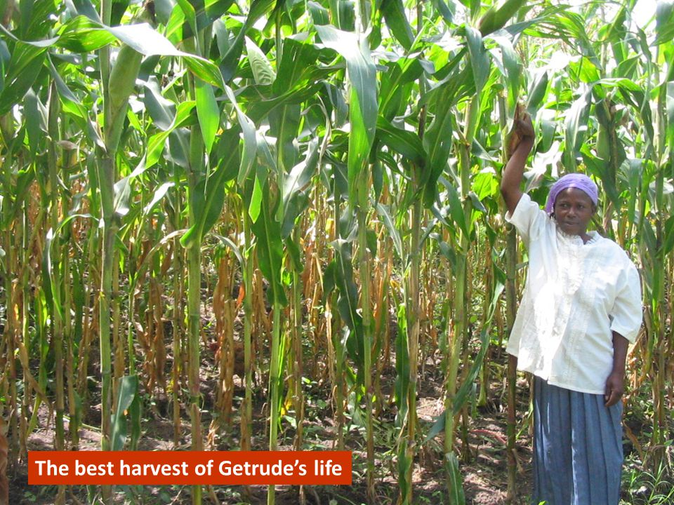 The tallest maize Getrude has ever seen