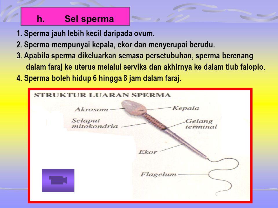 h. Sel sperma 1. Sperma jauh lebih kecil daripada ovum.