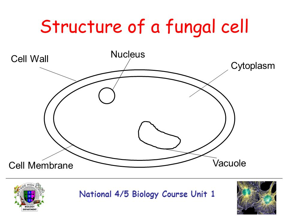 Structure of a fungal cell
