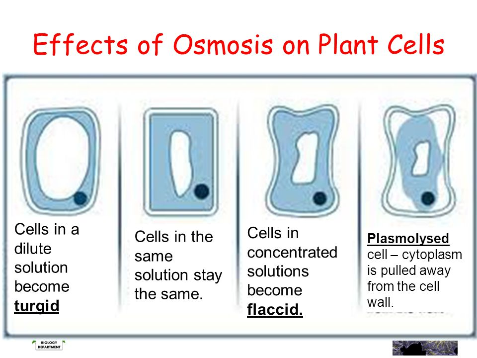 Effects of Osmosis on Plant Cells