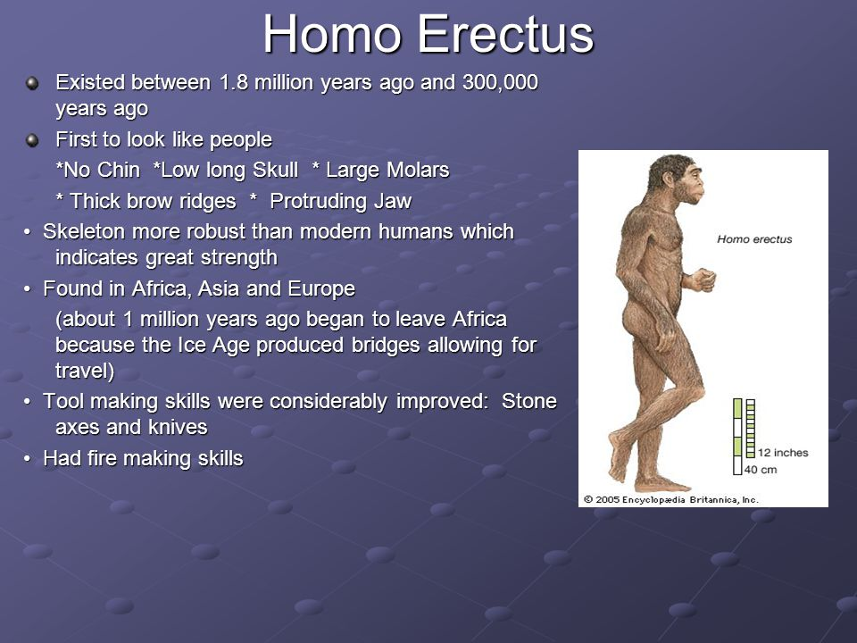Homo Erectus Existed between 1.8 million years ago and 300,000 years ago. First to look like people.