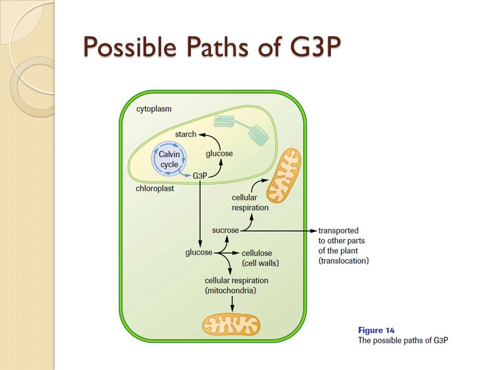 Possible Paths of G3P