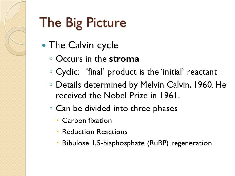 The Big Picture The Calvin cycle Occurs in the stroma
