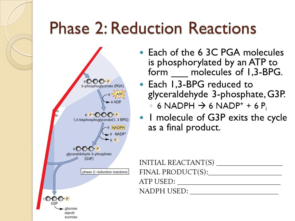 Phase 2: Reduction Reactions