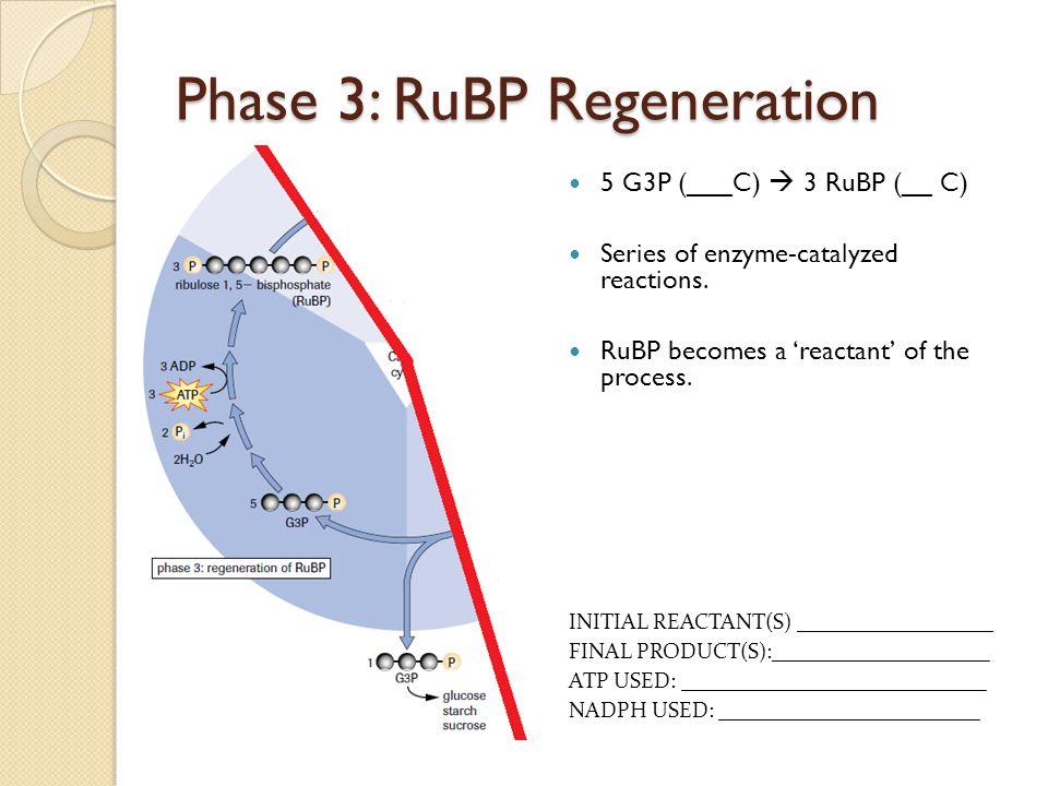 Phase 3: RuBP Regeneration