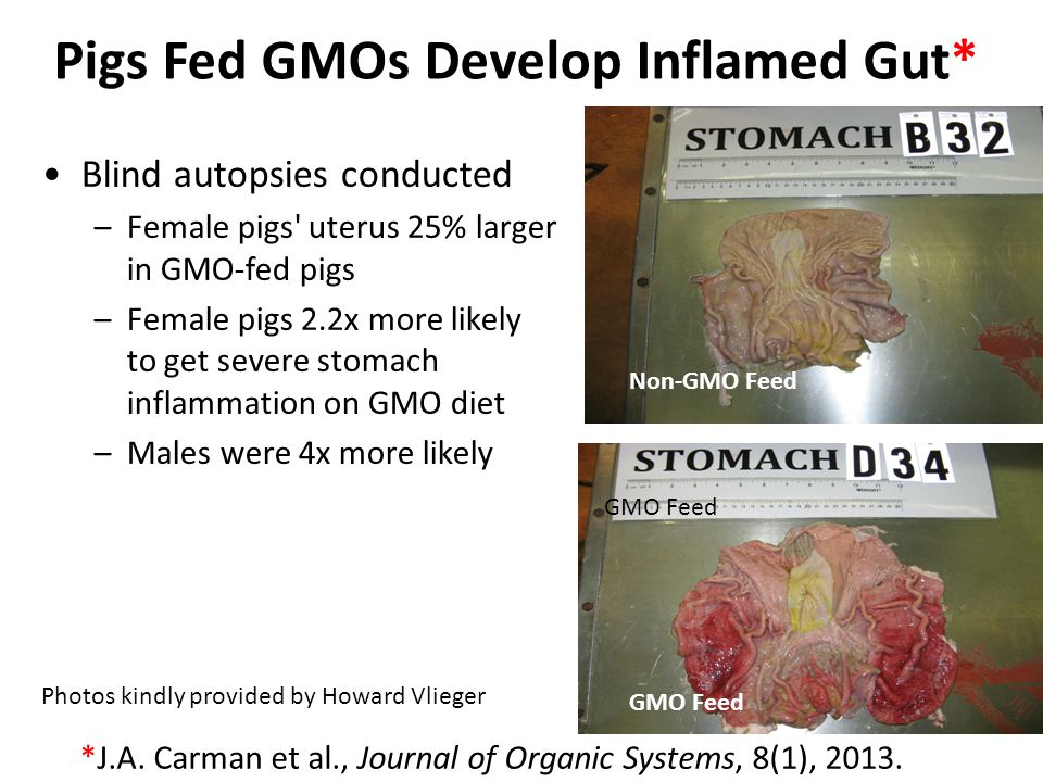 Pigs Fed GMOs Develop Inflamed Gut*