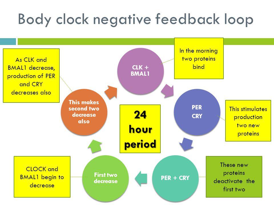 Body clock negative feedback loop