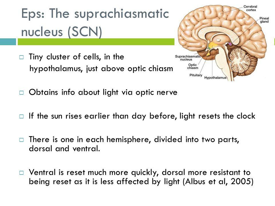 Eps: The suprachiasmatic nucleus (SCN)