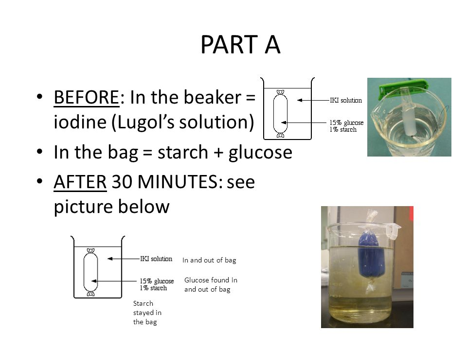 PART A BEFORE: In the beaker = iodine (Lugol's solution)