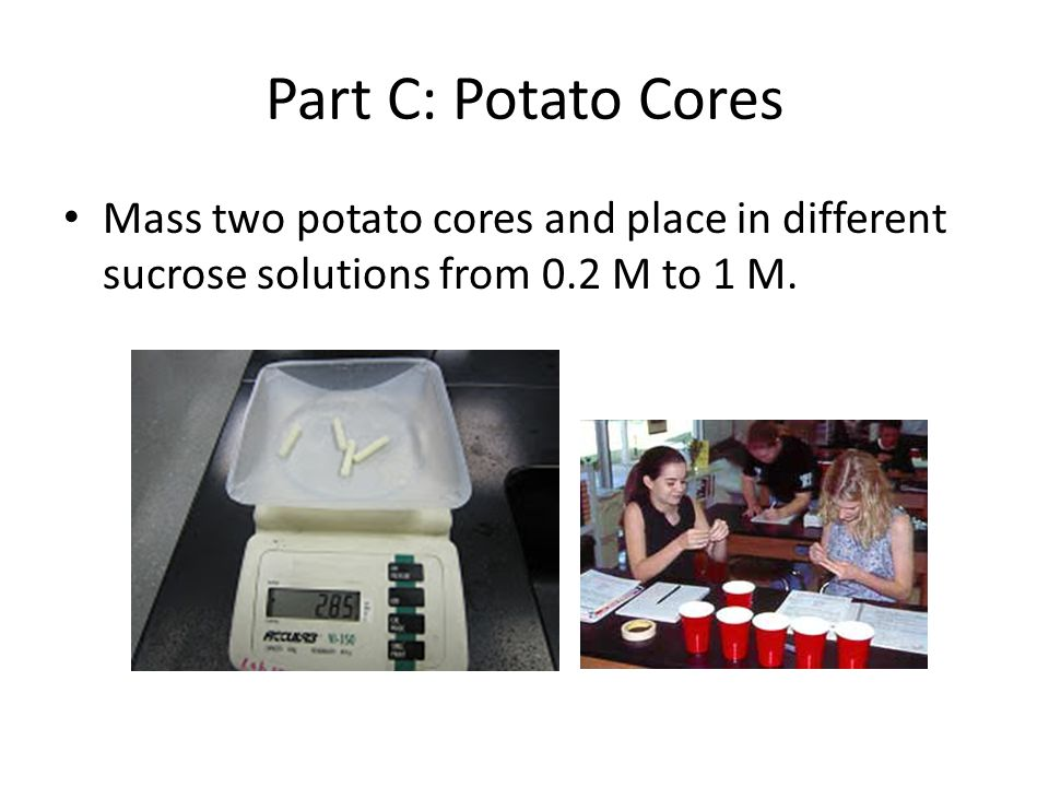 Part C: Potato Cores Mass two potato cores and place in different sucrose solutions from 0.2 M to 1 M.
