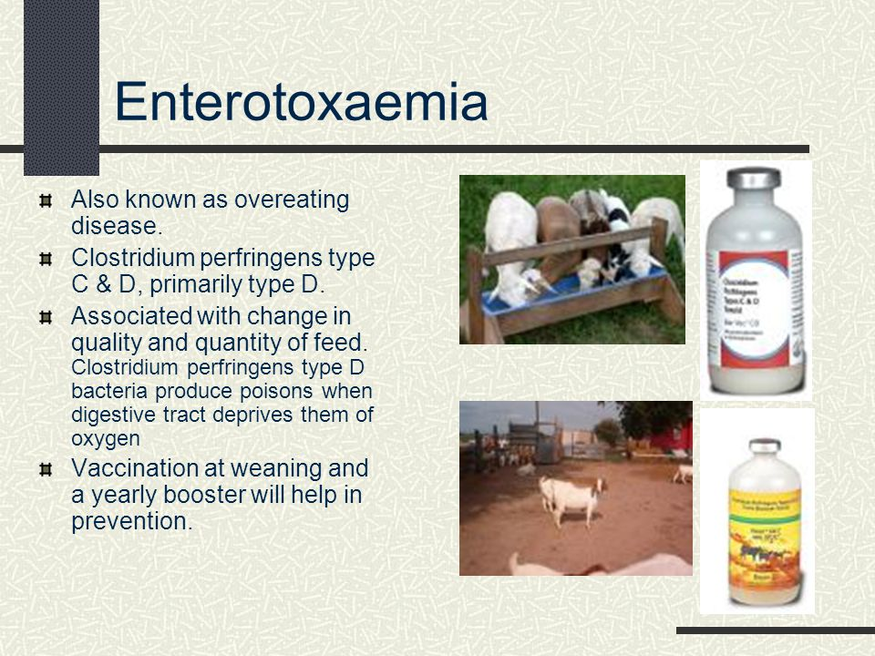 Enterotoxaemia Also known as overeating disease.