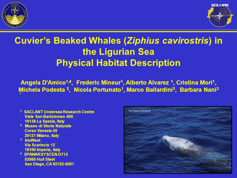Cuvier's Beaked Whales (Ziphius cavirostris) in the Ligurian Sea