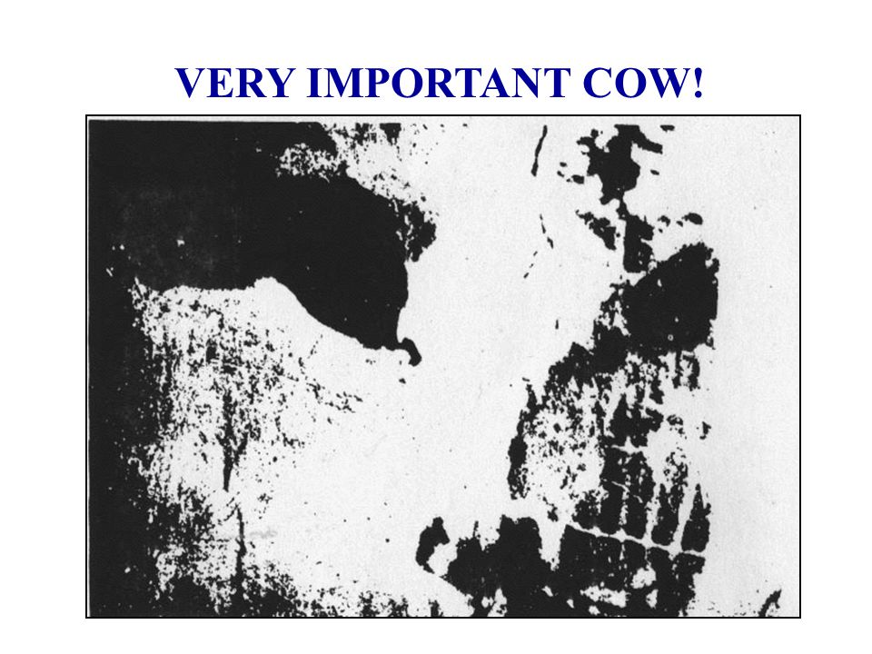 VERY IMPORTANT COW!