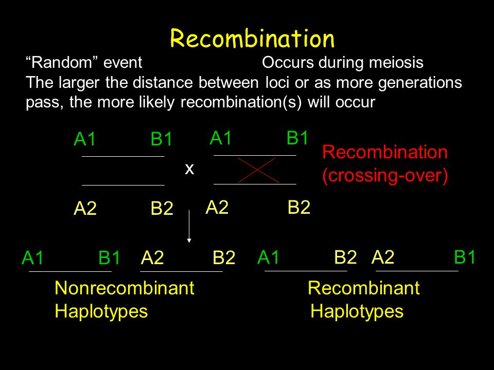 Recombination A1 B1 A2 B2 A1 B1 A2 B2 Recombination (crossing-over) x