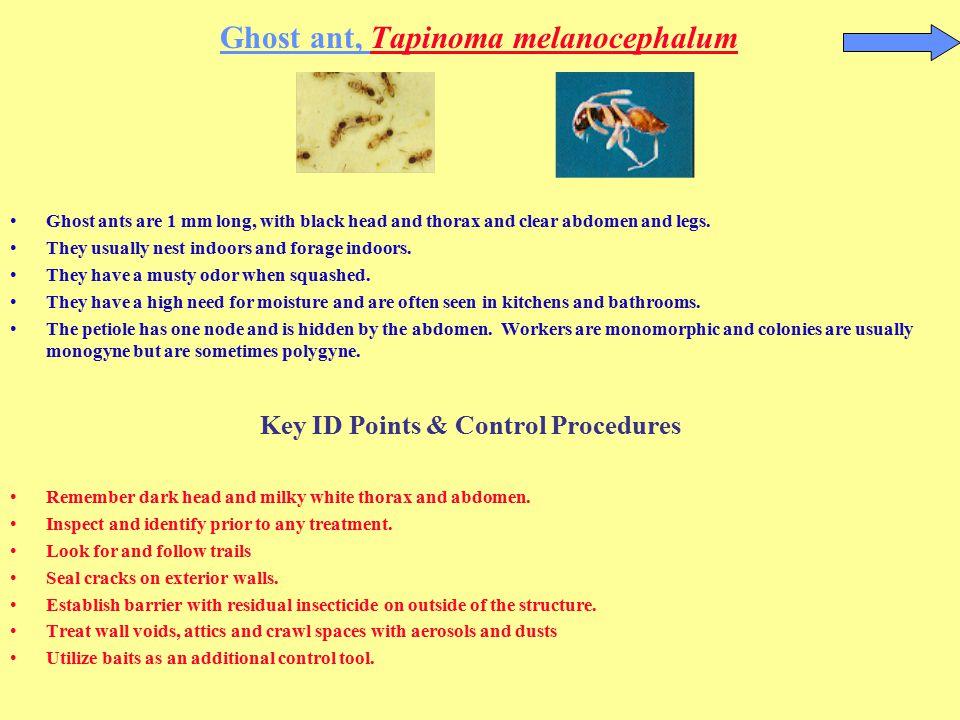 Ghost ant, Tapinoma melanocephalum