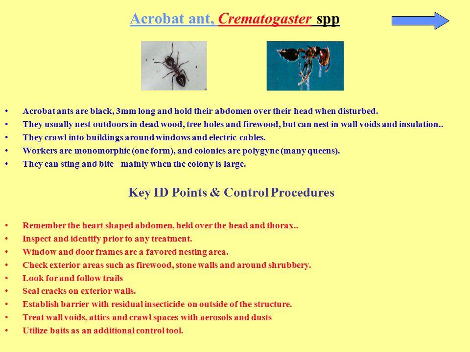 Acrobat ant, Crematogaster spp