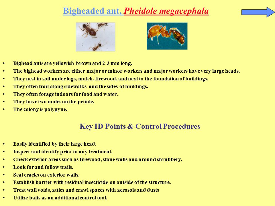 Bigheaded ant, Pheidole megacephala
