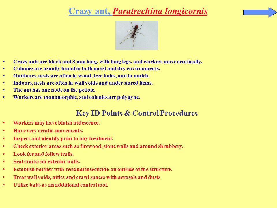 Crazy ant, Paratrechina longicornis