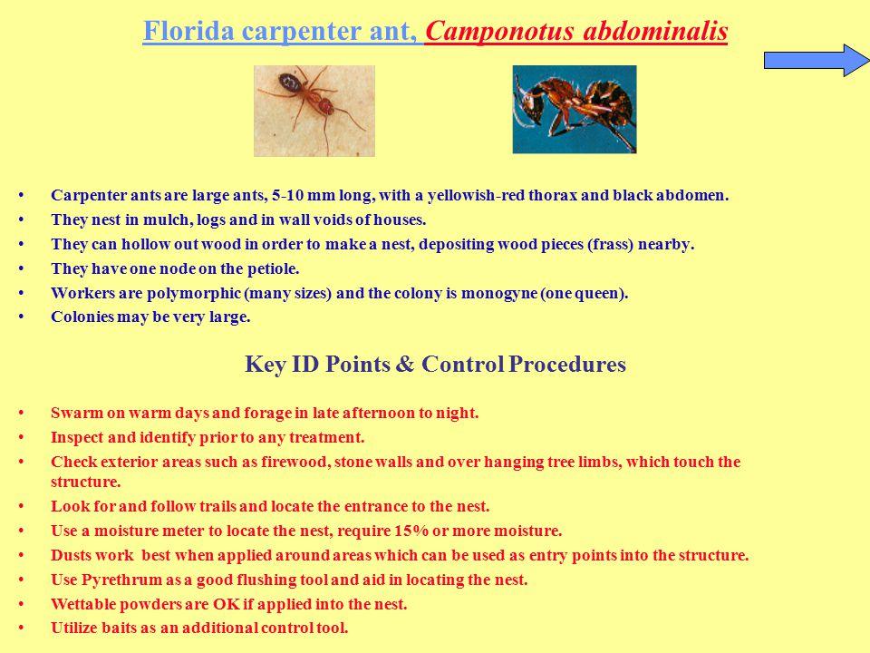 Florida carpenter ant, Camponotus abdominalis
